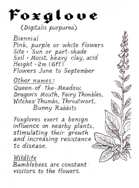WEBSITE - Foxglove crop