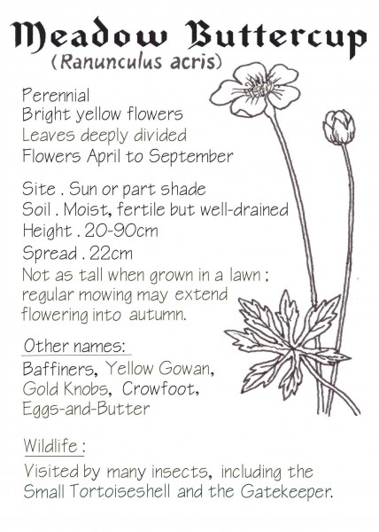 WEBSITE - Meadow Buttercup crop