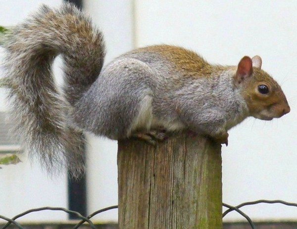 An unconcerned squirrel on our garden post
