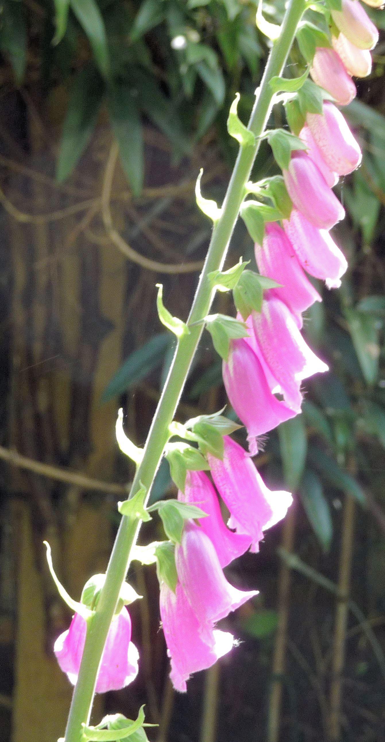 WFoxglove sharpen