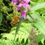 WPL1 -  Purple Loosestrife with Bumblebee, Hedge Woundwort seed stalks