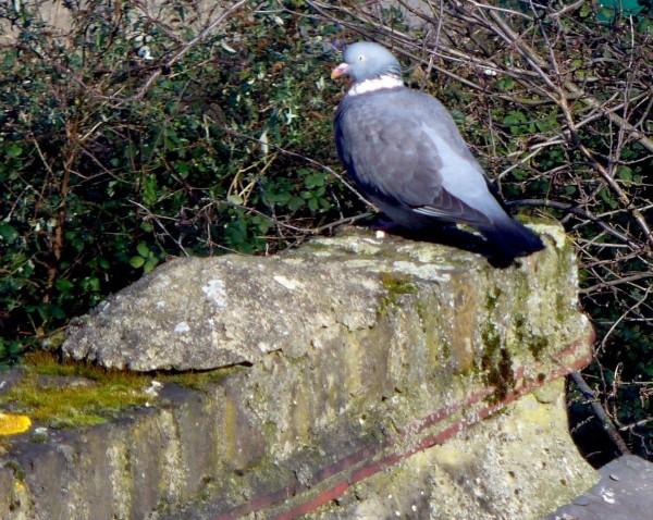 Woodpigeon Portrait winter 2012