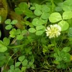 clover 54