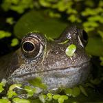 guilty-frog