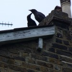 web - Crow with youngster on gable
