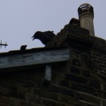 web - Crow youngster in mid-caw on gable