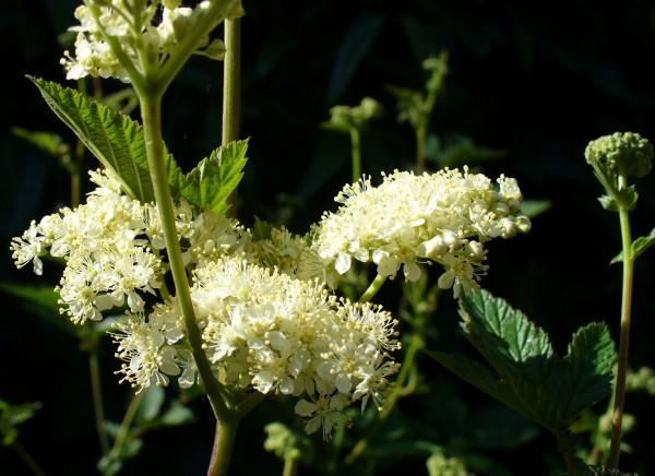 web July meadowsweet crop