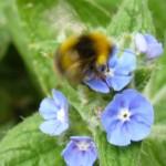 web - bumblebee on alkanet