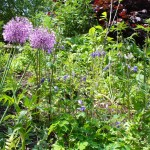 web eyelevel planting behind cntre, alliums and aquilegia
