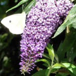 white butterfly on buddleia