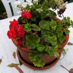 xRF's Garden - Geraniums on white table