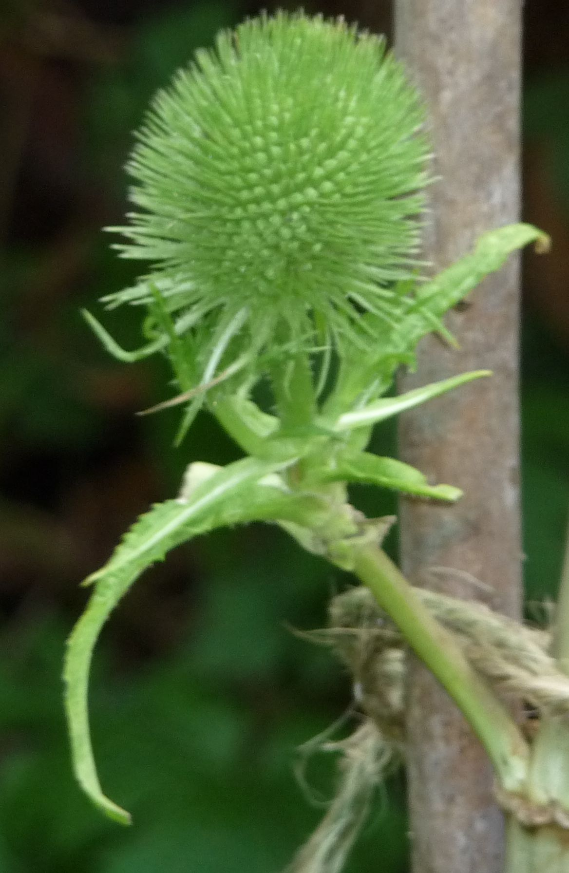 young green teasel