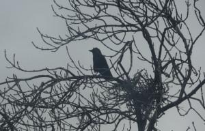 Ash, Crow, Crow's nest