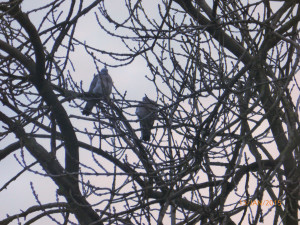 Ash , two Woodpigeons