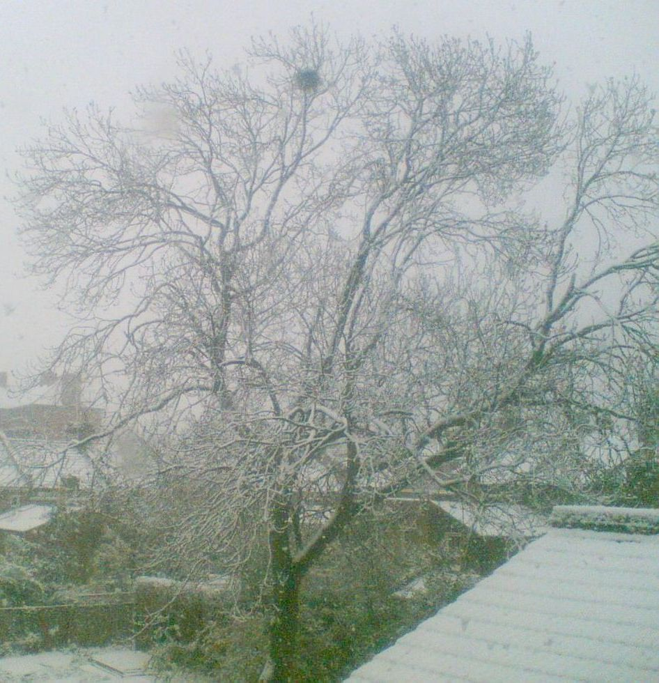 Crow's nest in snow, Ash, Feb 2008