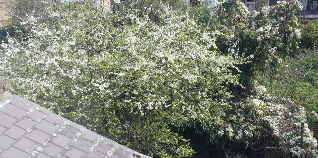 Damson and Clematis Armandii in flower