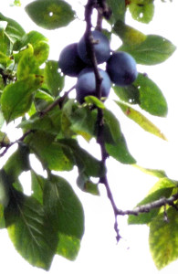 Dangling Damsons with holes in leaves