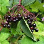 Elderberries crop