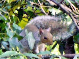 Squirrel in Damson 2012
