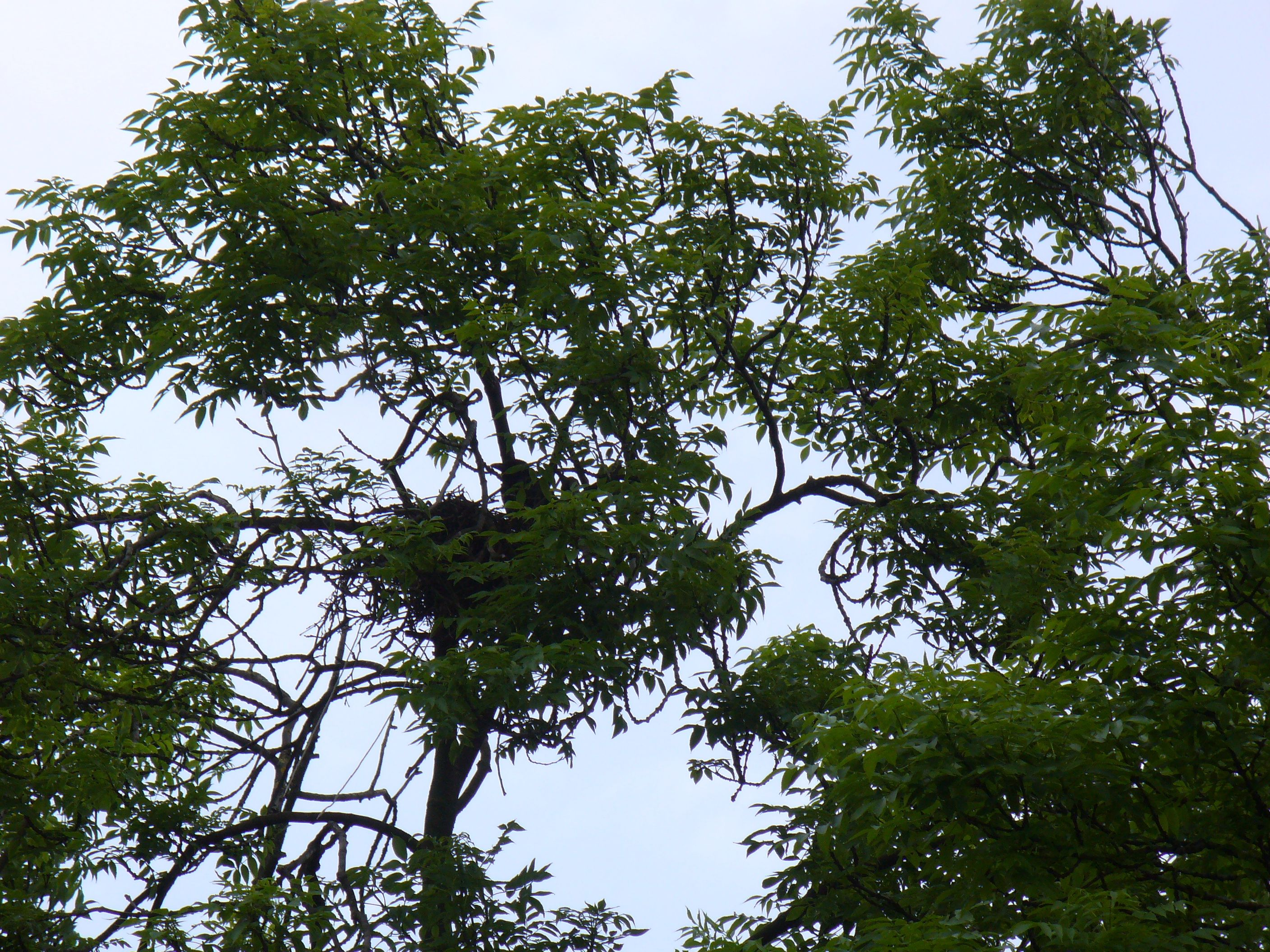 crows nest in ash with crow, closeup with leaves, spring 2014