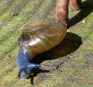 blue-glass-snail-pastry-shell-2