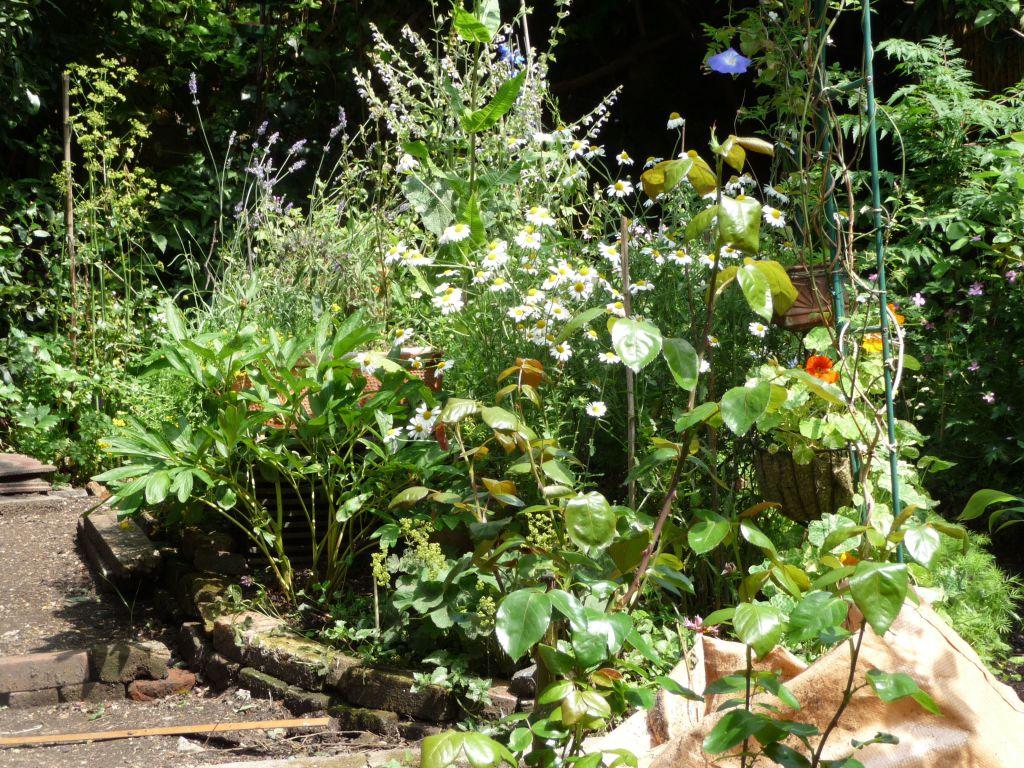 EARTHWK sunny earthwork, two bricks deep wall, lavender, oxeye daisy, teasel, peony