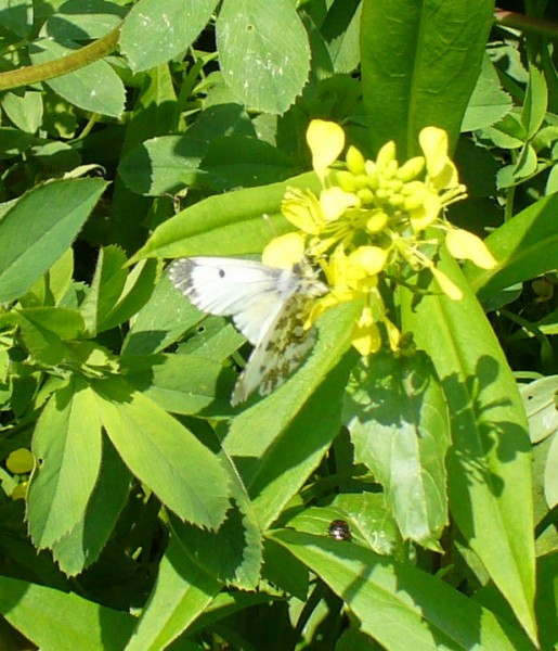 IFemale Orange Tip butterfly, foliage in bottom of Mike's Meadow uncropped