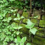 Mossy brick wall w Herb Robert, Hedge Woundwort