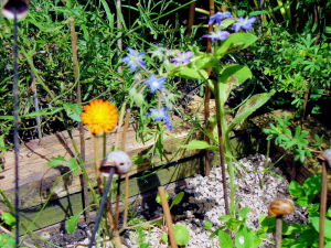 Borage and Fox-and-Cubs in Wildflower Square
