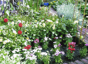 Dahlias and Dianthus