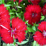 Row 3 No 3 - Dianthus