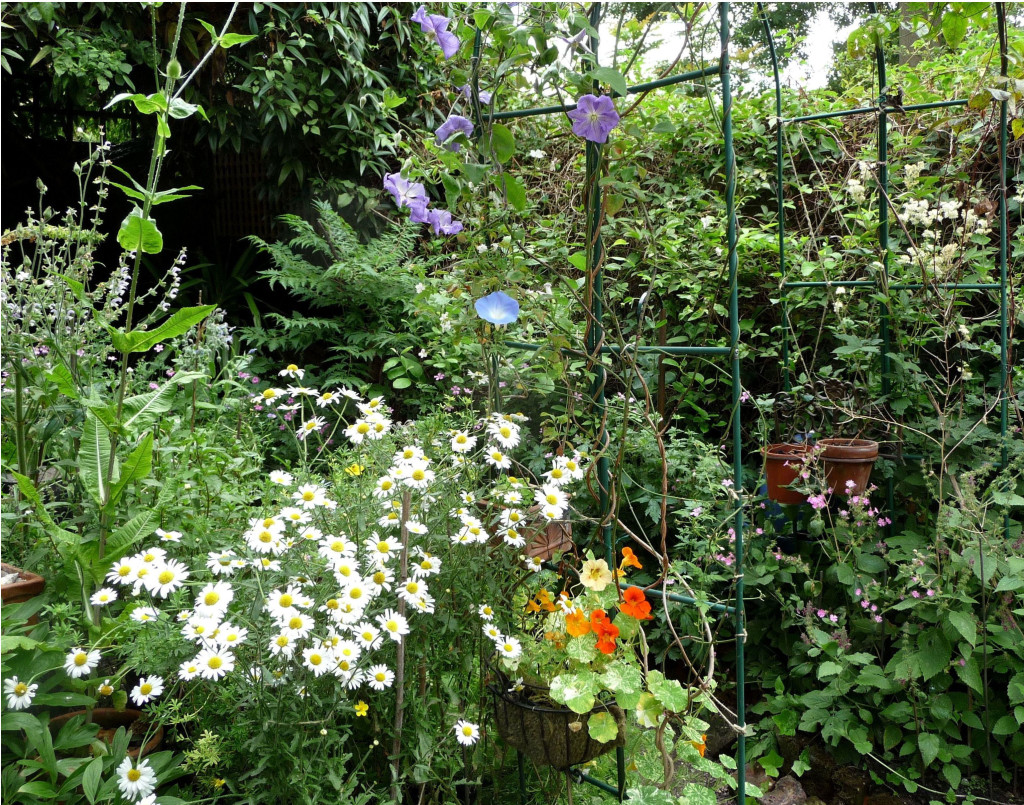 Row 5 No 2 - Rose Arch with Clematis Perle d' Azur, Oxeye Daisies, Nasturtium 'Alaska', Teasel