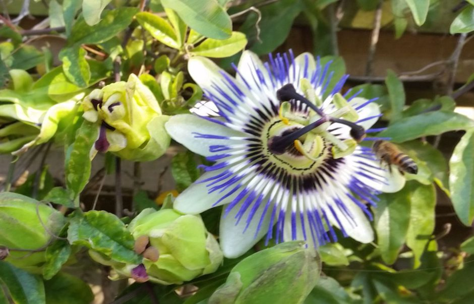 Honeybee on Passionflower, Ambler Road, Aug 2016
