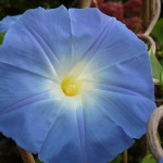 2- Morning Glory with spiral of climber