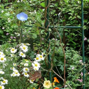 2 - Rose arch w MG Ipomoea Morning Glory 'Heavenly Blue', Oxeye Daisy, Nasturtium