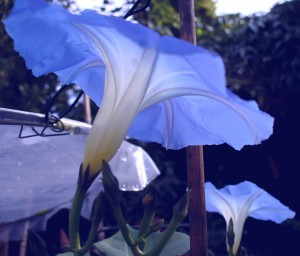 5 - Morning Glories side-on