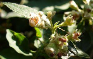 ANNE'S BEE BUSH FLOWERS