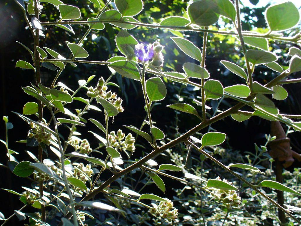 ANNE'S BEE BUSH in bloom