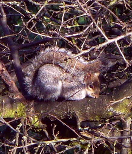 ASquirrel, blanket of tail2, winter 2012