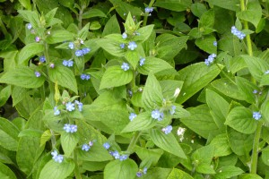Alkanet flwrs and foliage
