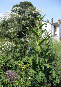 Allium Christophii, Acanthus, and other plants at Peckham WildlifeTrust