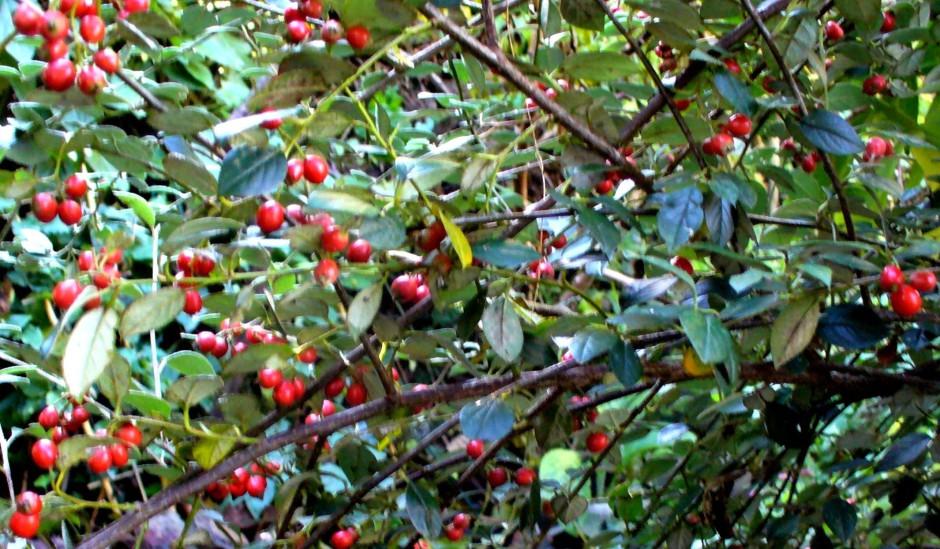 Anne's Bee Bush, berries 2012
