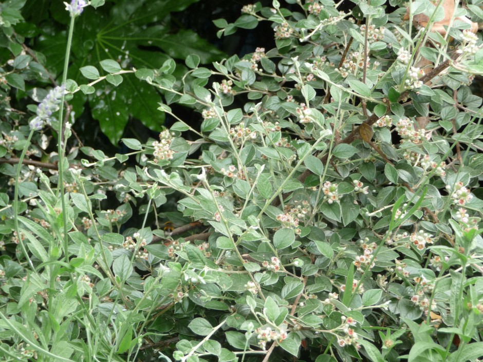 Anne's Bee Bush (Cotoneaster)