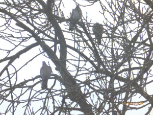 Ash - Woodpigeon threesome 330