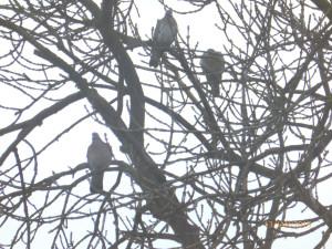 Ash - Woodpigeon threesome 330