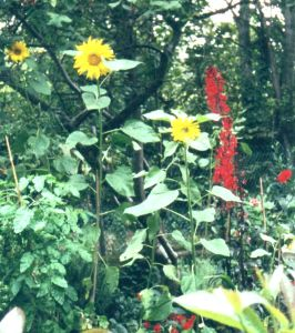 B5 Baytree Corner - Sunflowers, reds of Lobelia, Bishop of Llandaff