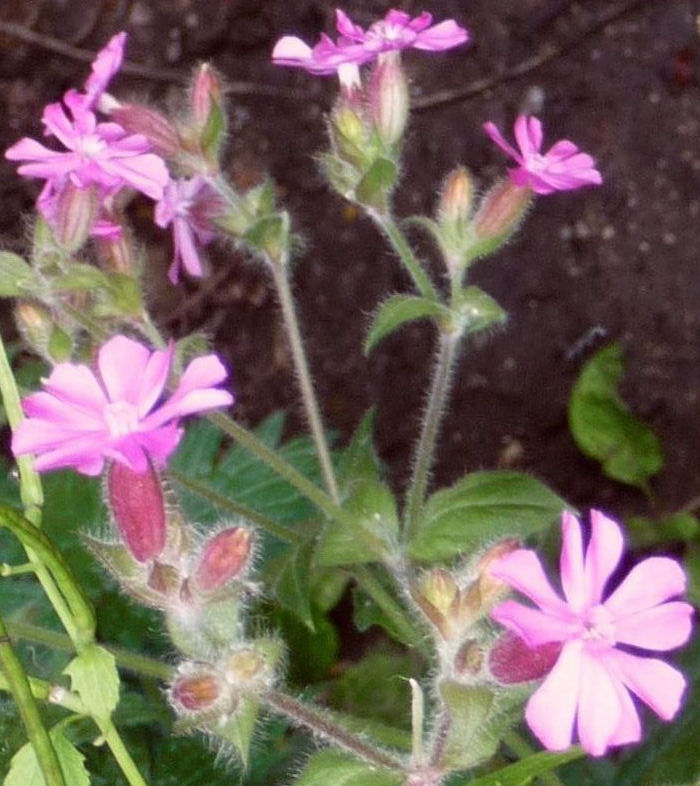 BIG RED CAMPION crop