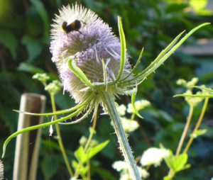 bumblebee-leggy-on-teasel