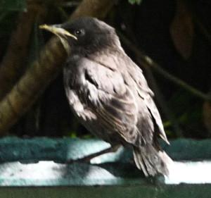 Baby Starling on birdbath 568