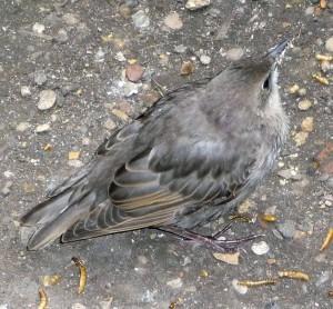 Baby Starling with mealworms